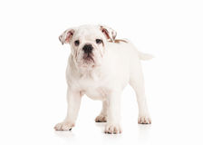 Dog. English bulldog puppy on white background Royalty Free Stock Image