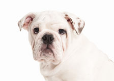 Dog. English bulldog puppy on white background Royalty Free Stock Photography