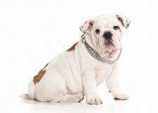Dog. English bulldog puppy on white background Royalty Free Stock Photography