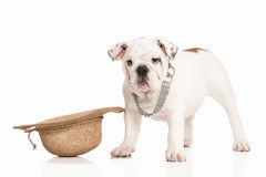 Dog. English bulldog puppy on white background Stock Photography