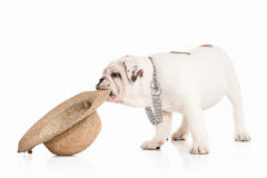 Dog. English bulldog puppy on white background Royalty Free Stock Images