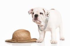 Dog. English bulldog puppy on white background Stock Photography