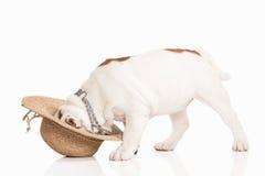 Dog. English bulldog puppy on white background Royalty Free Stock Image