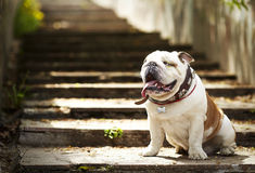 Dog english bulldog sitting on granite steps in the sun. Horizontal photo of a white-red dog English bulldog sitting on granite steps in the sun stock images