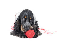 Dog (English Cocker спаниэль) with a ball Stock Photos