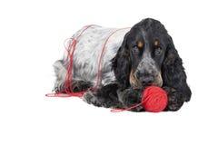 Dog (English Cocker спаниэль) with a ball Stock Image