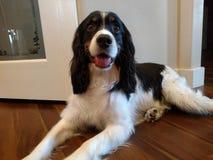 Dog. English springer spaniel Stock Photos