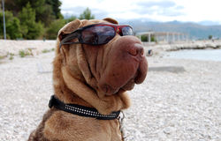Dog enjoy the beach. Sharpei dog enjoying the sun on the beach with sunglasses Royalty Free Stock Image