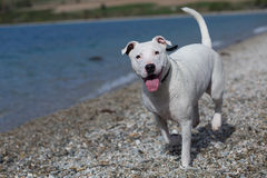 Dog enjoy playing at the beach Stock Photography