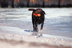 Dog enjoying the beach. Dog walking along the beach with a plastic toy in its mouth Stock Photography