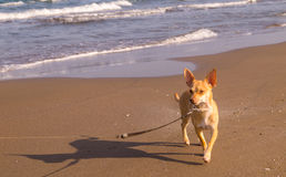 Dog. Enjoying the beach in Mexico Royalty Free Stock Image