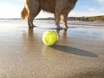 Dog enjoying beach and tennis ball at Gerrans Bay, Cornwall, United Kingdom Royalty Free Stock Photo