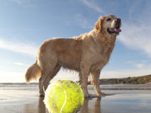 Dog enjoying beach and tennis ball at Gerrans Bay, Cornwall, United Kingdom Stock Images