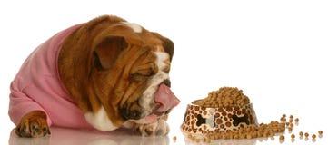 Dog enjoying bowl of dog food. Hungry english bulldog licking lips lying beside full dish of dog food Stock Images