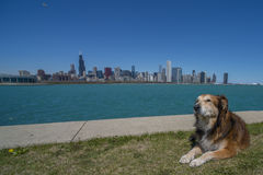 Dog enjoying Chicago Skyline. Dog enjoying a beautiful day in the grass overlooking the Chicago skyline stock photo