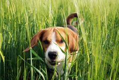 Cute hunting dog Royalty Free Stock Photos