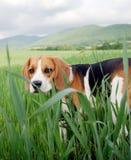 Cute hunting dog Royalty Free Stock Image