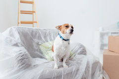 Dog enjoying his new house. During renovation, he is sitting on an armchair covered with a plastic sheet Stock Images
