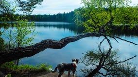 Free Dog Enjoying Lake In Finland Stock Image - 126122491
