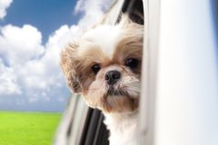 Dog enjoying a ride. In the car Royalty Free Stock Photo