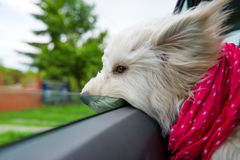 Dog enjoying a ride Stock Images