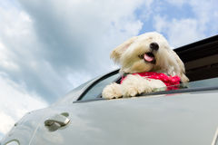 Dog enjoying a ride with the car Stock Image