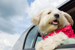 Dog enjoying a ride with the car Stock Photo