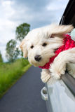 Dog enjoying a ride with the car Royalty Free Stock Image