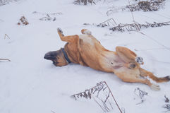 A dog is enjoying the snow. On the ground by rolling over in the ground Royalty Free Stock Photo