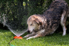 Dog enjoying a sprinkler in the summer hear Stock Images