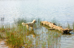 A dog enjoying the water at algonquin park royalty free stock image
