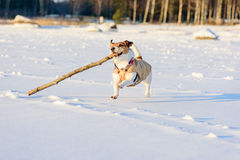 Dog enjoying winter sunny weather. Jack Russell Terrier playing on ice of Baltic Sea Stock Photo