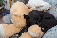 Dog enjoys cuddly toys Royalty Free Stock Photo