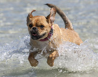 A dog enjoys playing in the ocean at Corny Point in South Australia in Australia. Royalty Free Stock Photos