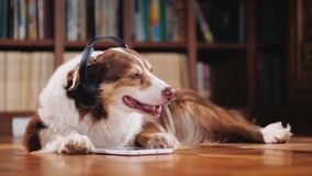 The Australian Shepherd is lying on the floor in the library, listening to music on headphones. Next to her tablet