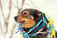 Dog entangled in colorful streamer Royalty Free Stock Photo