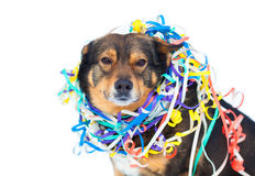 Dog entangled in colorful streamer Royalty Free Stock Images