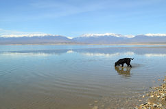 Dog enters the lake. Young black dog (english setter) enters the water of the lake Stock Photo
