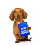 Dog with european pet  passport. Dachshund sausage dog with european pet  passport , isolated on white background Royalty Free Stock Photo