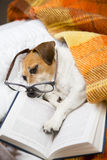 Dog evening reading before bedtime. Happy cute dog with reading glasses fell asleep in a comfortable bed with a book Stock Photo