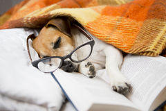 Dog evening reading before bedtime Stock Image