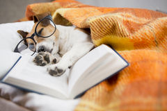 Dog evening reading before bedtime Stock Images