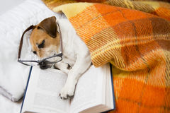 Dog evening reading before bedtime. Happy cute dog with reading glasses fell asleep in a comfortable bed with a book Royalty Free Stock Images