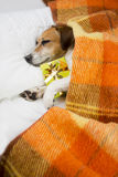 Dog evening reading before bedtime Royalty Free Stock Photography