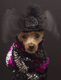 Dog In Evening Wear Stock Photography