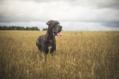 Dog in evening wheat field on evening Stock Photo