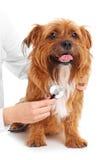 Dog examination Stock Photography
