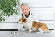 Dog examination. Small dog has examination on table in senior veterinarian infirmary Royalty Free Stock Photos