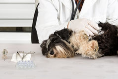 Dog examination Royalty Free Stock Images