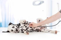Dog examination by veterinary doctor with